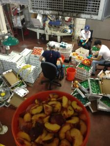 Preparing 800lbs of Fresh Palisade Peaches